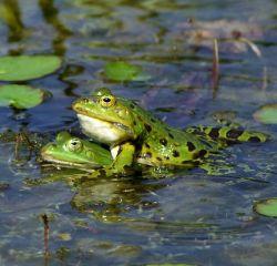 frog-sex-250jpg